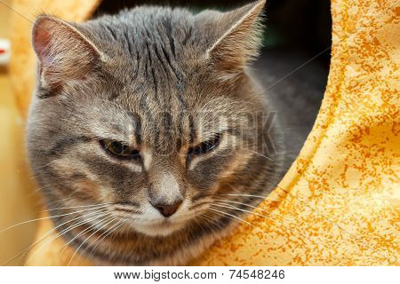 Gray Domestic Cat In The Cat House