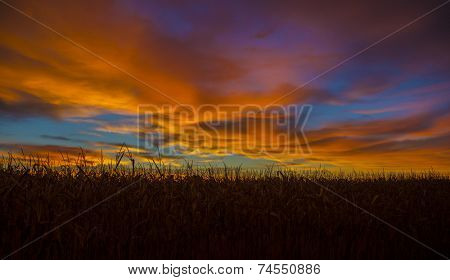 Corn field at sunrise with multi colors in the sky