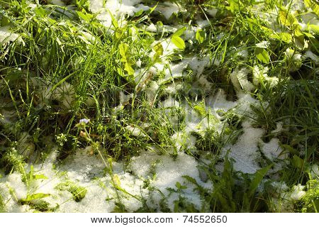 Texture Of Green Grass With Snow. Spring.