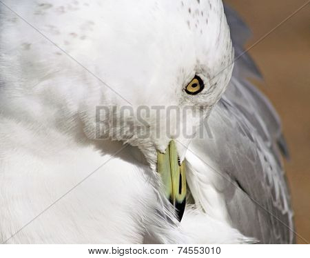 Seagull Preening Feathers