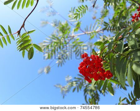 Autumn Rowan Berries Ashberry. Sorbus Aucuparia