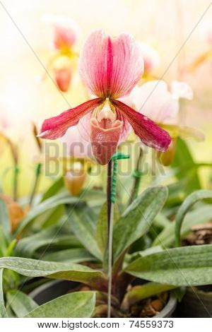 Close Up Of Pink Lady's Slipper Orchid Flower