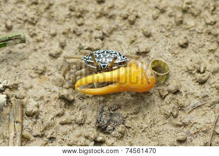 A Blue Fiddler Crab