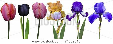 irises tulips