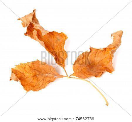Dried Yellowed Autumn Leaf