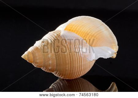 single seashell  on black background with reflections