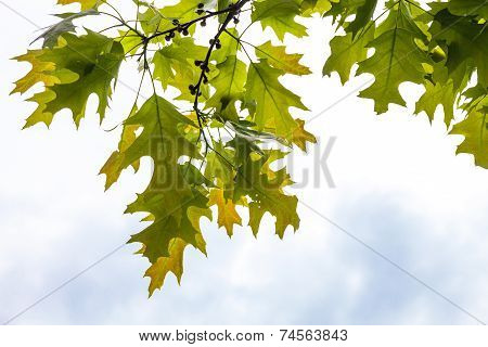 Green Branches Of The Oak Tree With Tiny Young Acorns