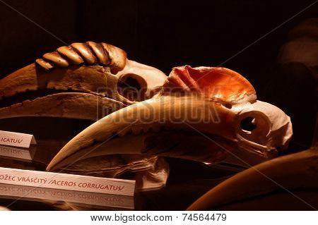 Hornbill skulls birds