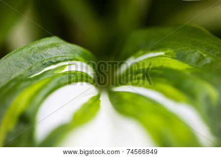 Green-white Leaf Of Hosta