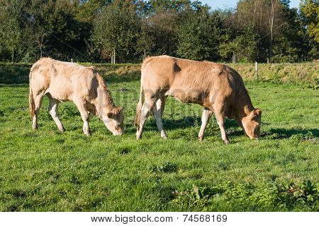 Two Grazing Light Brown Young Cows
