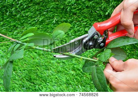 Trimming Rose Flower Branch