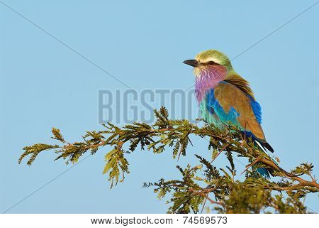 Lilac Breasted Roller Perched On A Branch