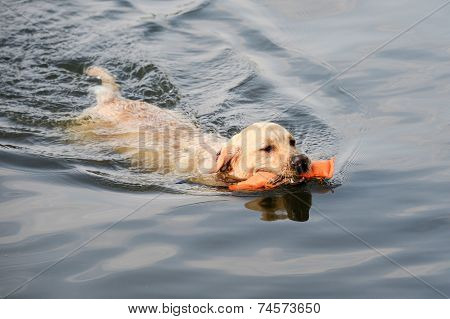 Golden Retriever retrieves dummy