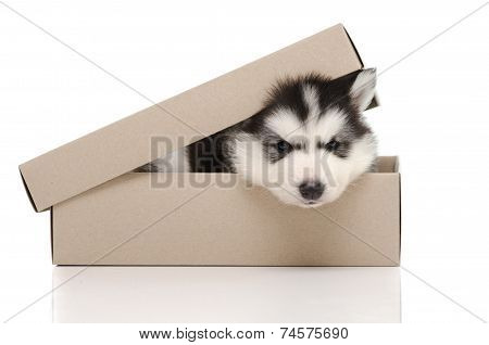 Cute Siberian Husky Puppy Insiside Box