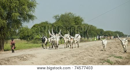 BOR, SOUTH SUDAN: DECEMBER 4, 2010- Unidentified people herd cattle down a road in South Sudan