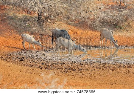 Blue Wildebeest And Kudu