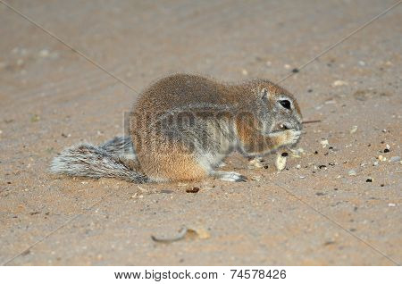 Cape Ground Squirrel Eating