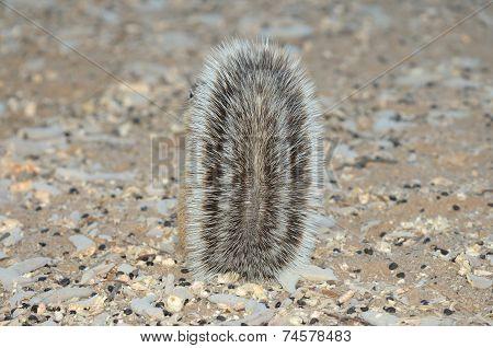 Cape Ground Squirrel Hiding Behind Tail