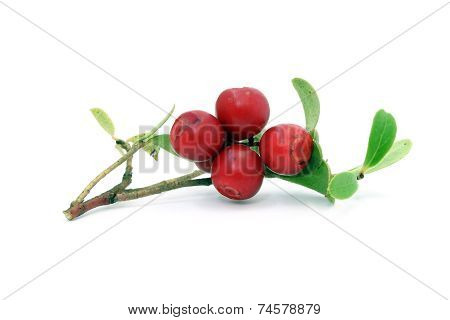 Sprig With Cowberry And Leaves