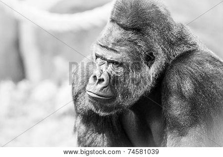 Black And White Portrait Of Gorilla