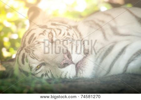 White Tiger Lying Down And Looking At Camera