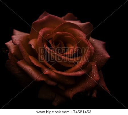 Pink rose on black