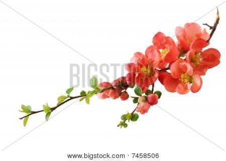 Orange Cherry Blossom