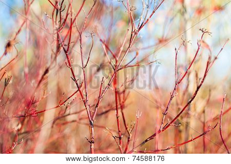 Red Dogwood Bush
