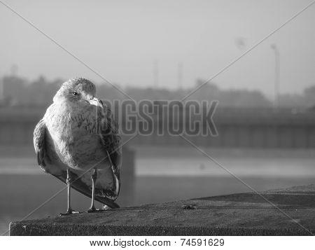 Sunlit Seagull