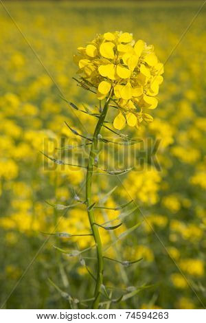 Flower Of Yellow Mustard Seed In Field