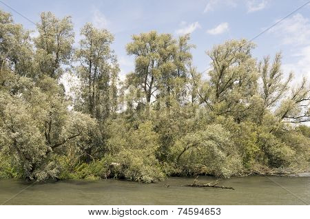 Willow forests.