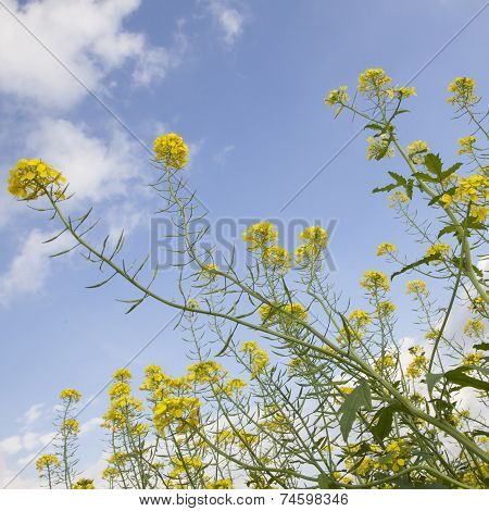 Flowers Of Yellow Mustard Seed In Field