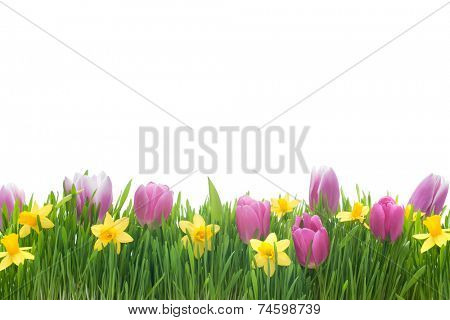 Spring narcissus and tulips flowers in green grass isolated on white background