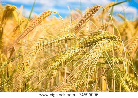 Grain field of barley is nearly ready for harvest