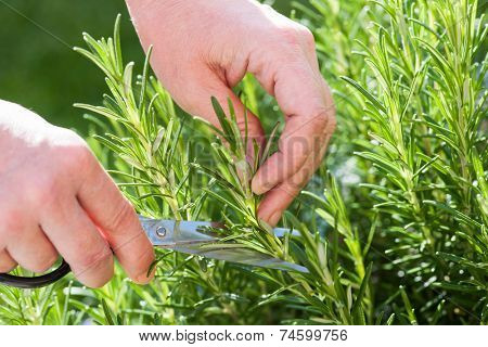 Woman gathers fresh rosemary herb in the garden