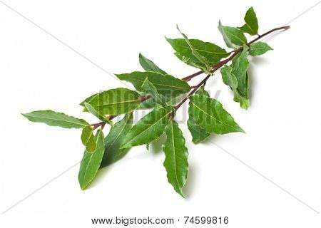 Fresh twigs of laurel isolated on white