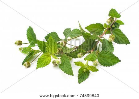 Twig of fresh Aztec sweet herb isolated on white background