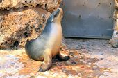 Australian Sea Lion - Neophoca Cinerea - Basking In Sunshine In Zoo Enclosure