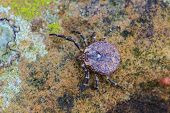 stock photo of ixodes  - Parasite tick on ground insect in nature - JPG