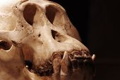 image of ape  - Orangutan skull zoology exhibit animals mammals ape - JPG