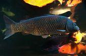 pic of koi fish  - Different colorful koi fishes swimming in aquarium - JPG