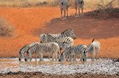 Постер, плакат: Zebras Drinking Water