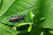 foto of longhorn  - beetle Longhorn beetle Sitting on a green leaf under the rays of the summer sun - JPG