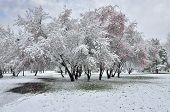 picture of blanket snow  - First fluffy snow covered trees grass and bushes in the white blanket in the Park - JPG
