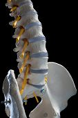 stock photo of spinal column  - human spinal column - JPG