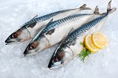 image of ice fishing  - Fresh mackerel fish  - JPG