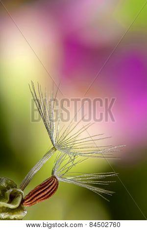 Detail Of Dandelion