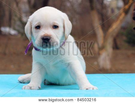 Labrador Puppy On Blue Background