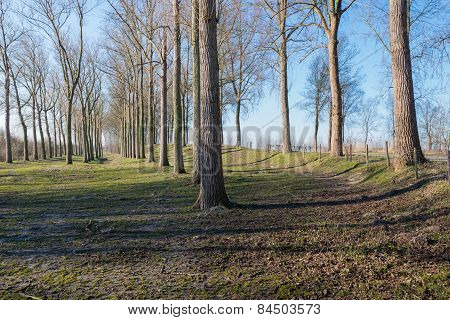 Tall Bare Trees In The Grass Early In The Morning