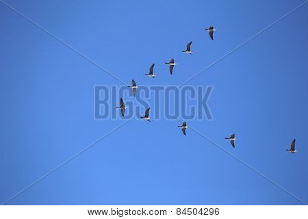 Flock Of White-fronted Geese
